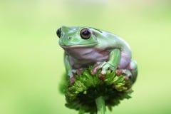 Rana, rana arbórea, animales, macro, insecto, naturaleza, reptil Imagen de archivo libre de regalías