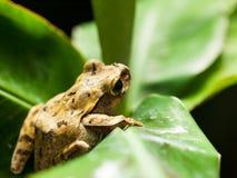 Rana arbórea asiática suroriental común en la hoja Fotografía de archivo libre de regalías