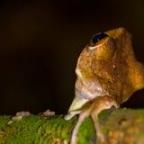rana arbórea Brown-rayada Fotografía de archivo libre de regalías