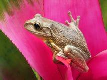 Rana arbórea cubana en una bromelia tropical rosada Imagen de archivo libre de regalías