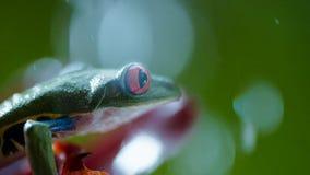 Rana arbórea de ojos enrojecidos Agalychnis Callidryas del Amazonas debajo de la lluvia fotografía de archivo libre de regalías