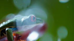 Rana arbórea de ojos enrojecidos Agalychnis Callidryas del Amazonas debajo de la lluvia fotografía de archivo