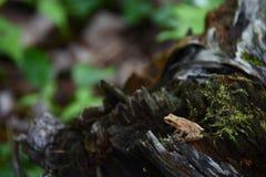 Rana arbórea en el bosque Fotos de archivo libres de regalías