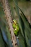Rana arbórea en un palillo Imagenes de archivo