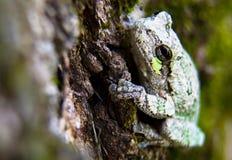 Rana arbórea gris y verde apenas que cuelga hacia fuera Fotografía de archivo libre de regalías