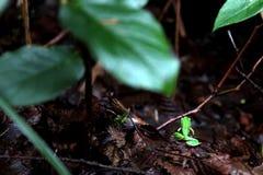 Rana arbórea pacífica Fotos de archivo libres de regalías