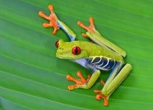 Rana arbórea roja del ojo en la hoja verde, cahuita, Costa Rica