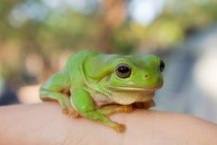 Rana arbórea verde Fotos de archivo libres de regalías