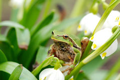 Rana arbórea verde del primer en la flor Imagenes de archivo