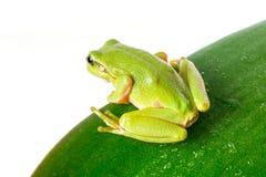 Rana arbórea verde en la hoja Fotografía de archivo libre de regalías