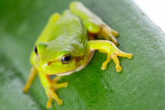 Rana arbórea verde en la hoja Imagen de archivo libre de regalías