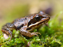 Rana arvalis, Europan Moor Frog Royalty Free Stock Images