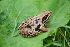 Rana arvalis. Moor frog (Rana arvalis) from Romania stock images