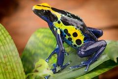 Rana azul amarilla del dardo del veneno Foto de archivo libre de regalías
