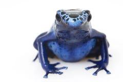 Rana azul de la flecha del veneno (azureus de Dendrobates) Foto de archivo libre de regalías