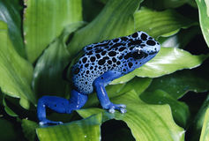 Rana azul del dardo del veneno Fotos de archivo libres de regalías