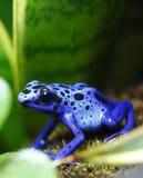 Rana azul del dardo del veneno Imagenes de archivo