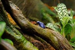 Rana azul del dardo del veneno Fotografía de archivo libre de regalías