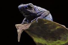 Rana azul del dardo del veneno Fotografía de archivo