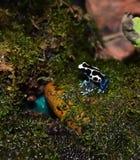 Rana azul del dardo del veneno de la fresa Foto de archivo