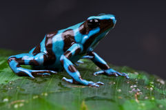 Rana azul y negra del dardo del veneno Fotografía de archivo
