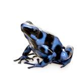 Rana azul y negra del dardo del veneno - aureola de Dendrobates Imagenes de archivo