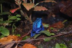Rana blu Immagini Stock