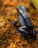 Rana blu del dardo Fotografia Stock Libera da Diritti