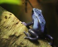 Rana blu del dardo Fotografie Stock Libere da Diritti