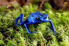 Rana blu del dardo del veleno Immagini Stock