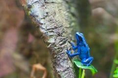 Rana blu del dardo del veleno su un albero Fotografia Stock Libera da Diritti