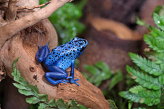 Rana blu del veleno immagini stock libere da diritti