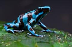 Rana blu e nera del dardo del veleno Fotografia Stock