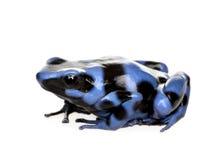 Rana blu e nera del dardo del veleno - alone di Dendrobates fotografia stock