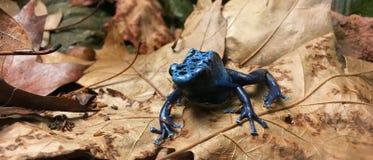 Rana blu scuro interessante del veleno Fotografie Stock