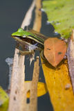 Rana bornean verde e dorata vicino ad un foglio, Mala Immagini Stock