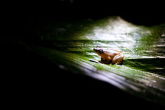 Rana - brown frog is a genus of frogs Stock Image