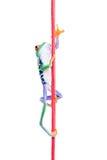 Rana che arrampica in su corda isolata Immagini Stock