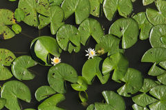 Rana che bacia lilly i colori del fiore Fotografia Stock