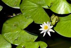 Rana che bacia lilly i colori del fiore Immagine Stock Libera da Diritti