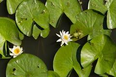 Rana che bacia lilly i colori del fiore Immagini Stock Libere da Diritti
