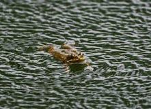 Rana che galleggia sulla superficie di acqua Immagini Stock Libere da Diritti