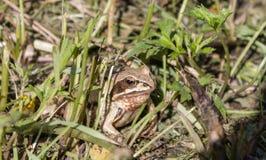 Rana che guarda fuori dall'erba nel giardino di estate calda Immagini Stock