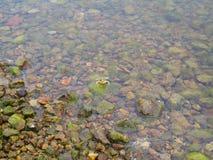 Rana che sbircia fuori dall'acqua Fotografia Stock Libera da Diritti