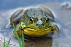 Rana che si siede in acqua bassa Fotografia Stock