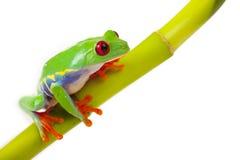 Rana che si siede sul bambù Fotografia Stock Libera da Diritti