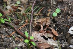 Rana común Foto de archivo libre de regalías