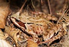 Rana común o rana de hierba fotografía de archivo