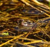 Rana común que mira a escondidas su cabeza por encima de la superficie Fotos de archivo