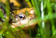 Rana común que oculta en hierba Fotografía de archivo